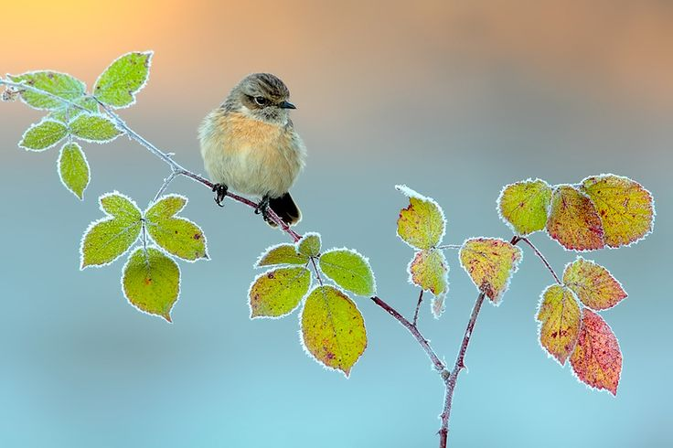 Stonechat in winter by Andrés Miguel Domínguez on 500px