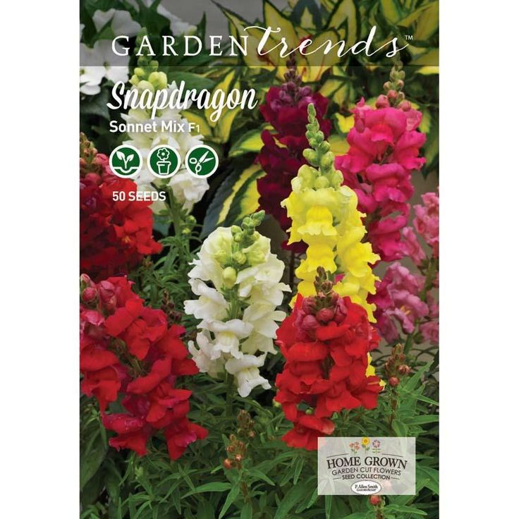 Snapdragon Sonnet Mix F1 - Great choice for beginner gardeners! Snapdragon Sonnet Mix is ideal for fall and spring. With a strong root system and the main stem surrounded by numerous flowering spikes, Sonnet's long flowering season provides a vibrant show of color in every situation. #gardentrends #snapdragons #flowergarden #pallensmith #growyourown