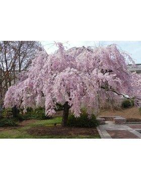 Prunus subhirtella 'Pendula Plena Rosea' – Csüngő, rózsaszín virágú díszcseresznye