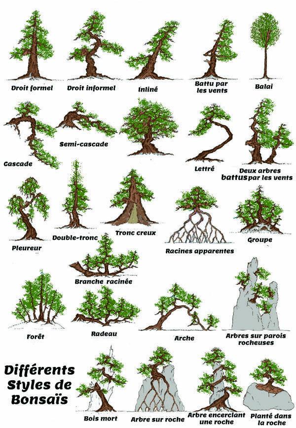 Dès que l'arboriculteur s'intéresse à l'esthétique d'un arbre en pot, il entre pleinement dans la discipline du bonsaï. Nousn'aborderons pas les expositions et la façon d'y présenter les bonsaïs,qui tiennent plus de l'aspectculturel que de l'arboriculture… Mais peut-être verrons nous un jour une expo d'envergure 100% autochtone en France! -Styles et formes- La mise en beauté d'un arbre est un point délicat de la discipline, car elle est autant subj…