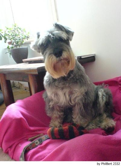 Its an Otto look alike! We have two shaggy schnauzers just like this one!