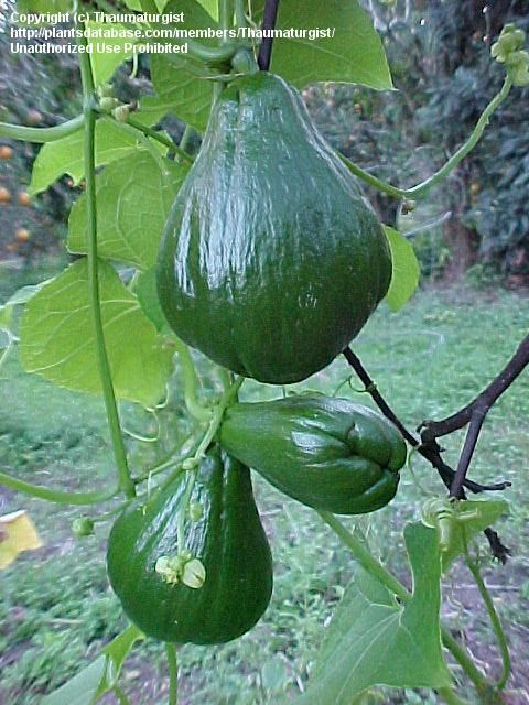 Pataste or chayote Maya Name chuum or huisquil Maya Plant Use Food medicine products and