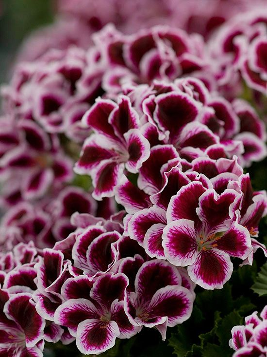 126 best images about geranios malvones malvon pensamiento on pinterest gardens window. Black Bedroom Furniture Sets. Home Design Ideas