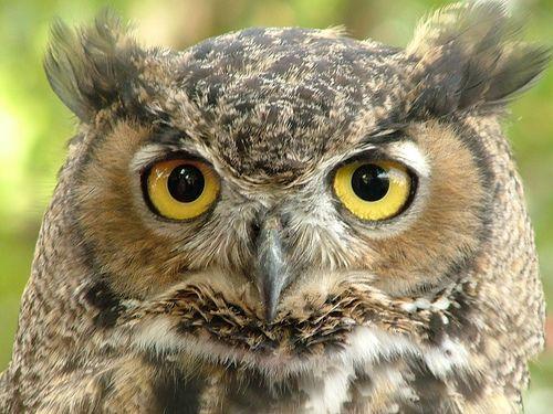 owls | Great Horned Owl Facts For Kids – Great Horned Owl Habitat