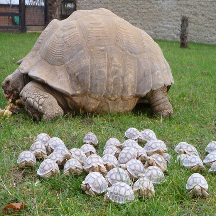 Shellshocked! Giant tortoise sets the pace for her 45 babies... but who's the…