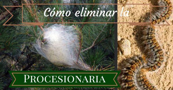 A comienzos del otoño, esta peligrosa plaga de los pinos (Thaumetopoea pityocampa ), inicia la formación de sus características bolsas blancas en las copas de los pinos. Estas bolsas blancas van a ser sus guaridas durante los próximos meses, donde anidan y se van a reproducir. En un estadio más avanzado salen de las bolsas y se alimentan de las hojas del pino, debilitándolo y propiciando entonces el ataque de otras plagas.
