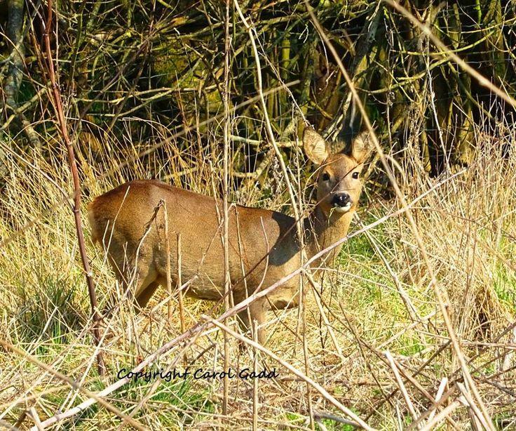 Wild deer, original photography, nature, wildlife, British wildlife, British, countryside by ByGaddArtandDesign on Etsy
