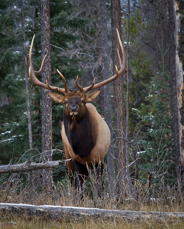 North American Elk | by Turk Images