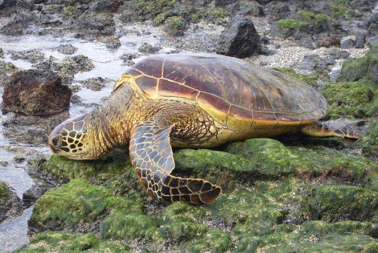 green sea turtle Green Sea Turtle Facts | Green Sea Turtle Habitat & Diet