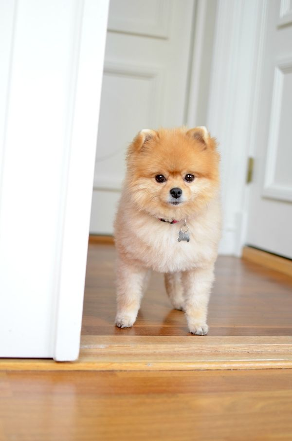 pomeranian haircut style 25 best ideas about pomeranian haircut on pinterest 4667