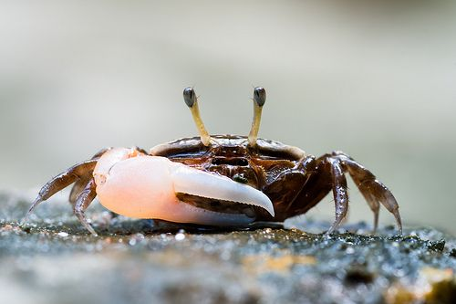 nice Uca sp., Fiddler crab - Tarutao National Marine Park