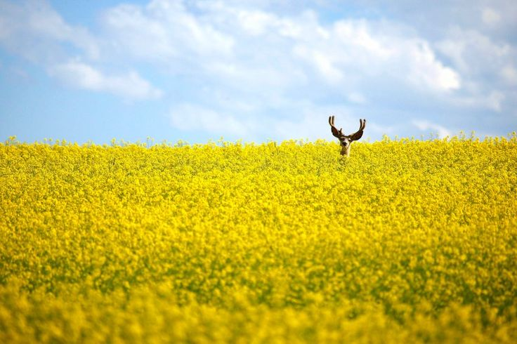 A deer lingers in a field: Animals, Canola North, Neck High Field, Alberta Canada, Photography, Fields, Stag Stands