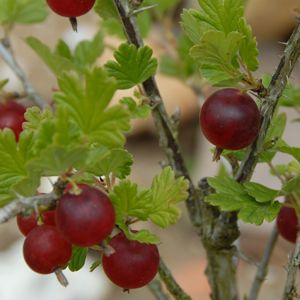 Fantastic post with excellent photos of edible food that grows wild. This one is a red gooseberry. HIGHLY RECOMMENDED reading.