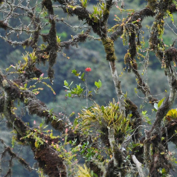 So many bromeliads growing in the trees on the grounds of San Jorge Eco-Lodge Tanadayapa Ecuador.  This one had a beautiful flower!