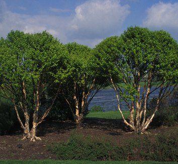 Betula nigra 'Little King' 10'