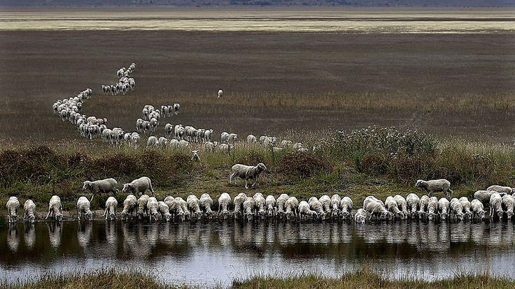 Rob Griffith/AP - Um rebanho de ovelhas bebe água no Lago George, a sudoeste de Sydney, na Austrália. Foto: Rob Griffith/AP