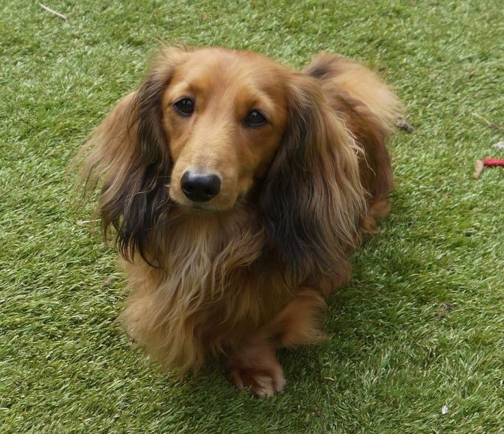 Red Sable Long Haired Dachshund Long Haired Dachshund Mini Long