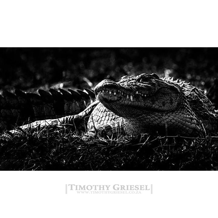PREHISTORIC CREATURE: Crocodiles fascinate and terrify me.  #animallovers #animalpolis #animalsofinstagram #igscwildlife #animales #exclusive_animals #wildlifephoto #wildlifeaddicts #wildlifephotography #animalworld #awesomeglobe #animalofinstagram #animalsmood #wildlifeonearth #wildlifeplanet #thecritterhaven #animalsaddict #planet_of_animals #wildlife_seekers #animal_in_world  #afrika #igs_africa #afrique #super_africa #ig_africa #unlimitedafrica #canonphotos #canoneos #canonrebel…