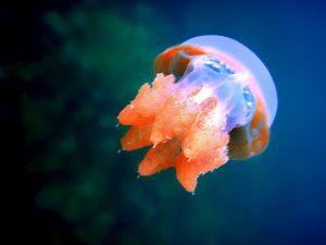 Stingless Jellyfish in Kakaban Island