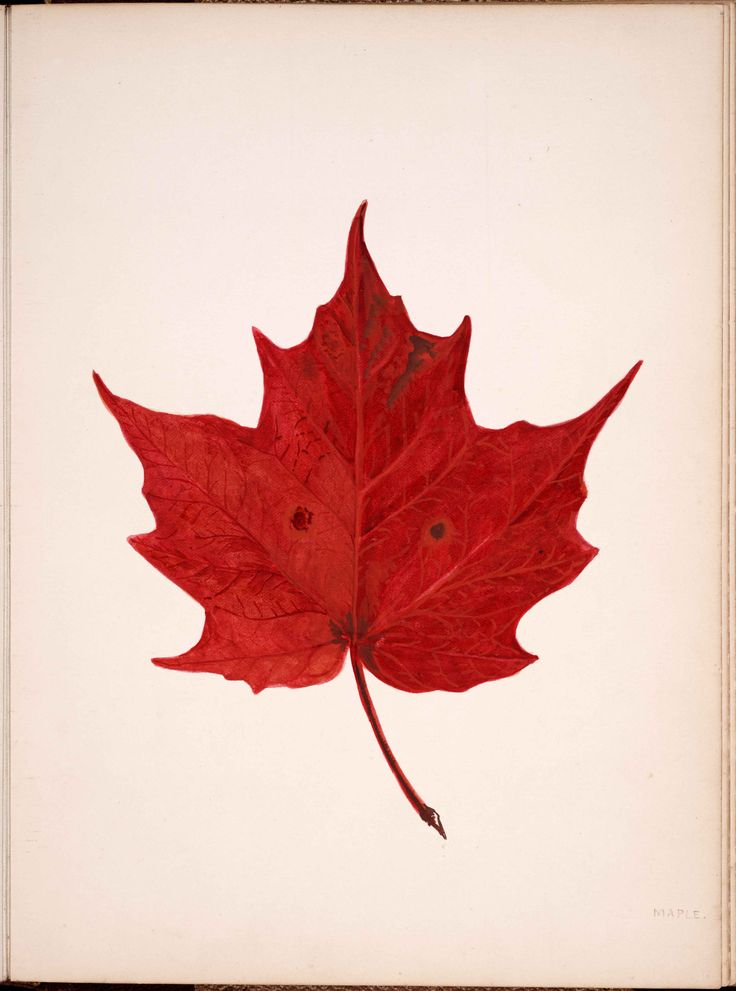 Image of a red maple leaf
