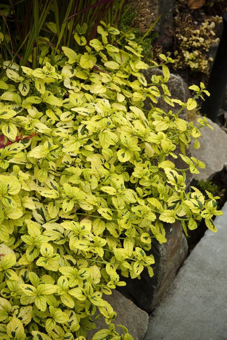 36 best images about variegated plants on pinterest for Low growing plants for landscaping