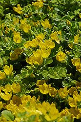 Creeping Jenny (Lysimachia nummularia) at Otten Bros. Garden Center