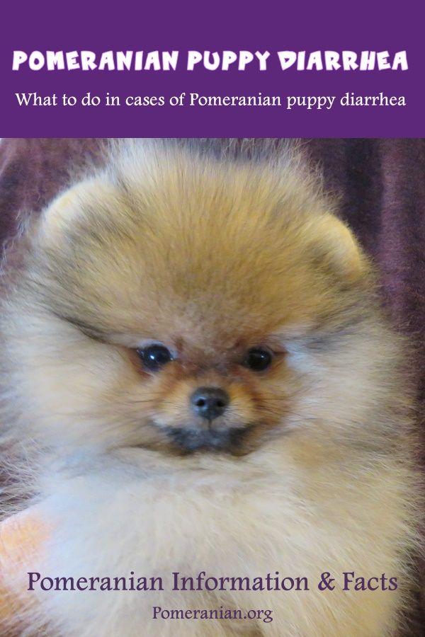 Pomeranian Puppy Diarrhea Pomeranian Puppy Pomeranian Dog Puppies