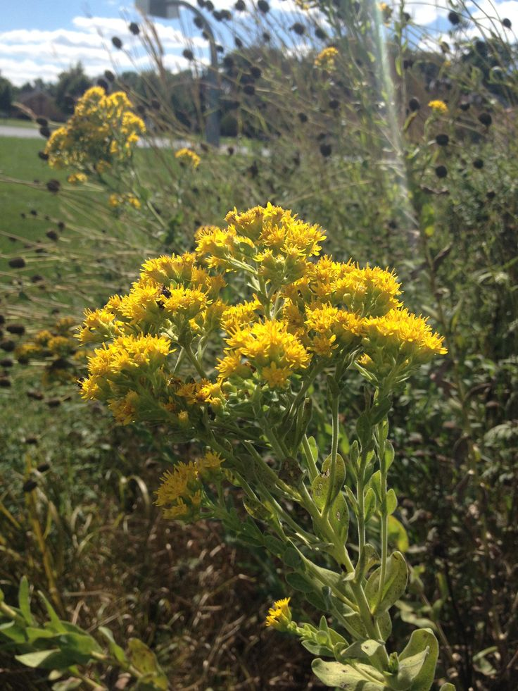 Planting Goldenrod In The Garden: 74 Best Solidago Images On Pinterest