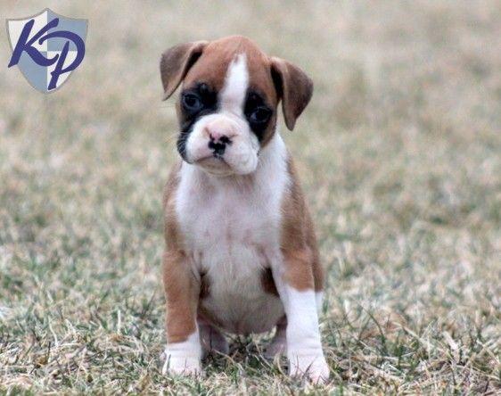 155 Best Boxer Puppies Images On Pinterest