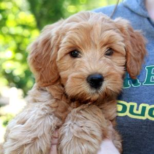 Labradoodle Pictures On our labradoodle photo gallery you will find a sampling of pictures of dogs that were bred by us at SPRING CREEK, or have been part of our breeding program. These dogs are representative of what we produce. … Continued