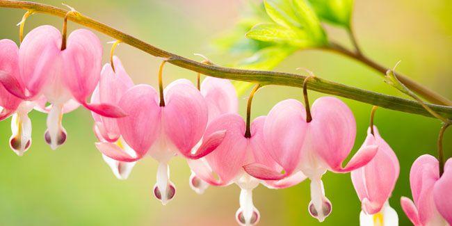 Gambar Bunga Cinta Cantik Park Haneul Bunga Bleeding Heart Simbol Cinta Abadi Gaya Cantik Dan Stylish Bunga C Jantung Berdarah Gambar Bunga Ilustrasi Bunga