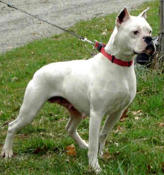 All White Boxer Dog |