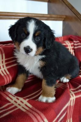 Bernese Mountain Dog Puppies for Sale | Lancaster Puppies