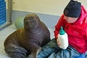 The Sweetest Orphaned Baby Walrus.  See video of this little snuggle bunny. Love.