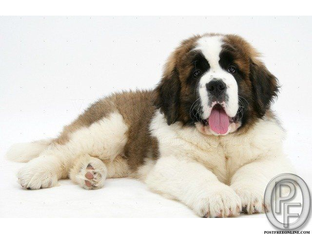 Saint bernard puppies for sale. Best quality Saint bernard puppies. Very healthy and ready for the new home. High pedigree and very good linage pure breed only. Get saint bernard puppies in India, Mumbai, delhi, hyderabad, navi mumbai, Haryana, Gurgaon, punjab, ambala, Benglore and all other states. Call 9699999338  Note: When you call, don't forget to mention that you found this ad on PostFreeOnline.com  info-Pics are for Reff. only actual puppy may differ.