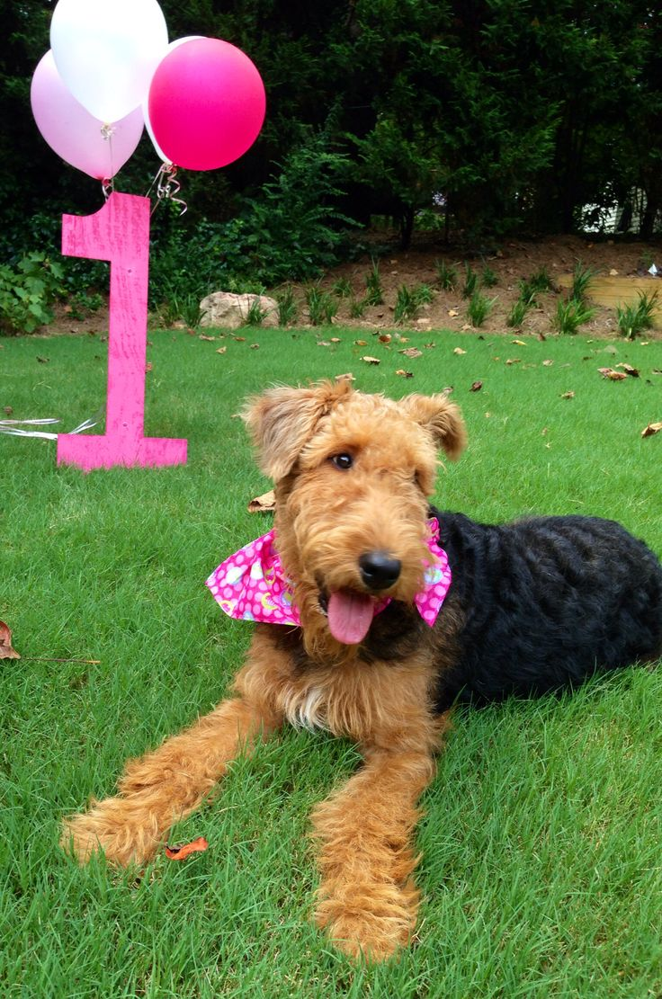 Tallulah's first birthday. Airedale Terrier. Dog first