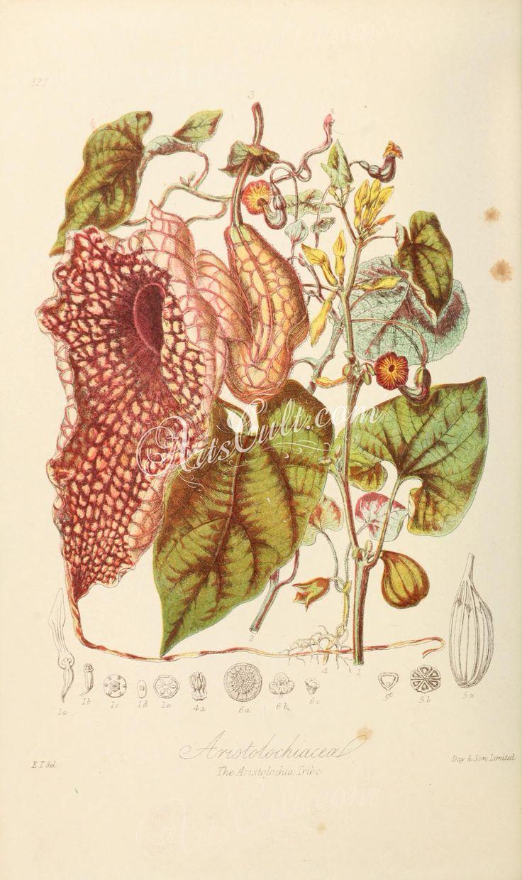 122-aristolochia clematitis, aristolochia sipho, aristolochia gigas, asarum europaeum, bragantia      ...