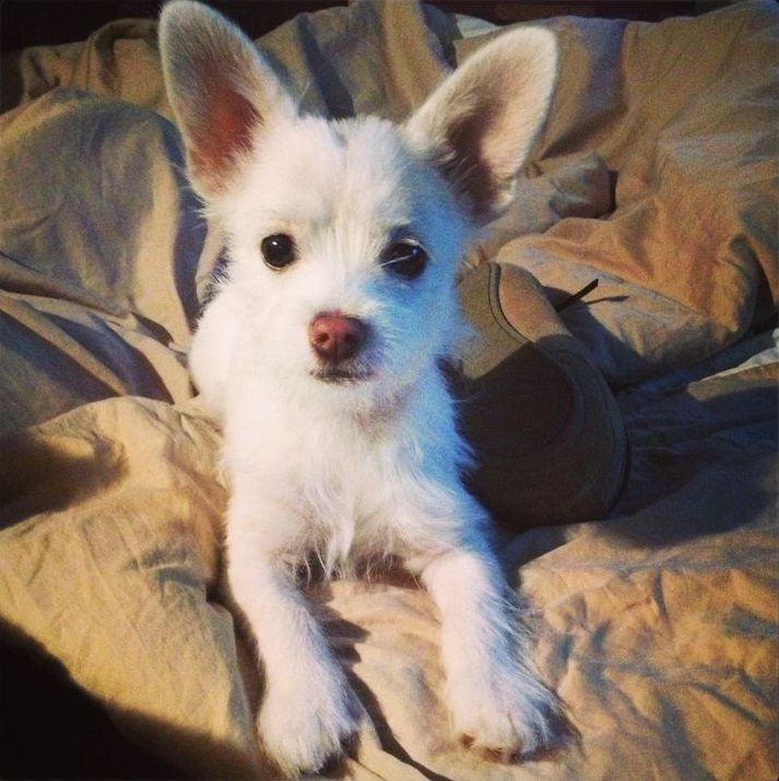 Chorkie (Yorkie-Chihuahua mix) Info, Temperament, Puppies, Pictures