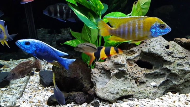 17 Best Images About Fish Tank On Pinterest Malawi