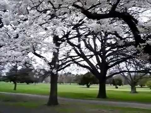 Cherry Blossom viewing in Hagley Park, Christchurch. Music from YouTube Audio…