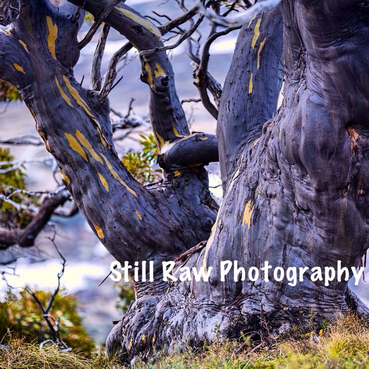 Weathered Snow Gums