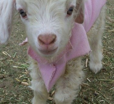 35 best images about Baby Goats in Sweaters on Pinterest