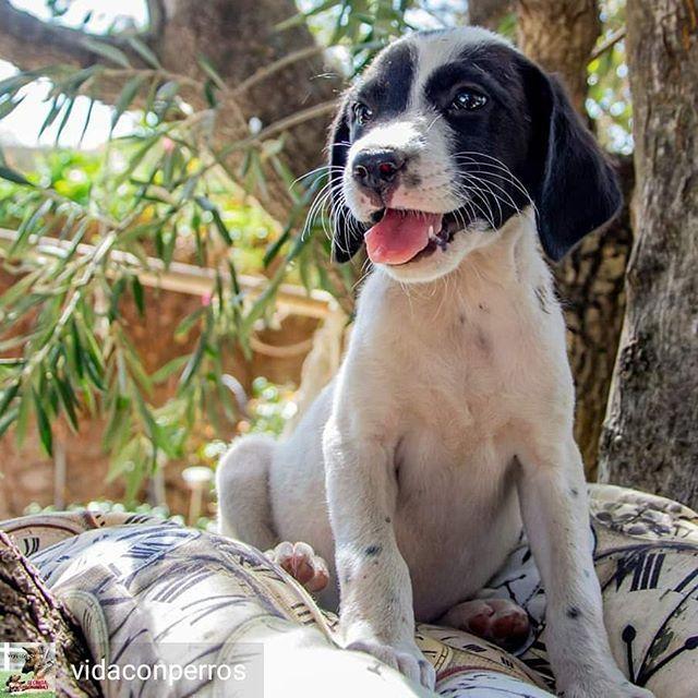 Reposted From Vidaconperros Get Regrann Belinda Nacio En Junio Junto A Sus Hermanos Esta En Adopcion Sera De Tamaño Mediano Y Es C Pitbulls Animals Dogs