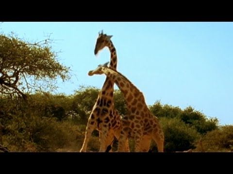 'Most Violent Giraffe Fight Ever' Video Goes Viral: 2 Giraffes Slam Necks Against Eachother