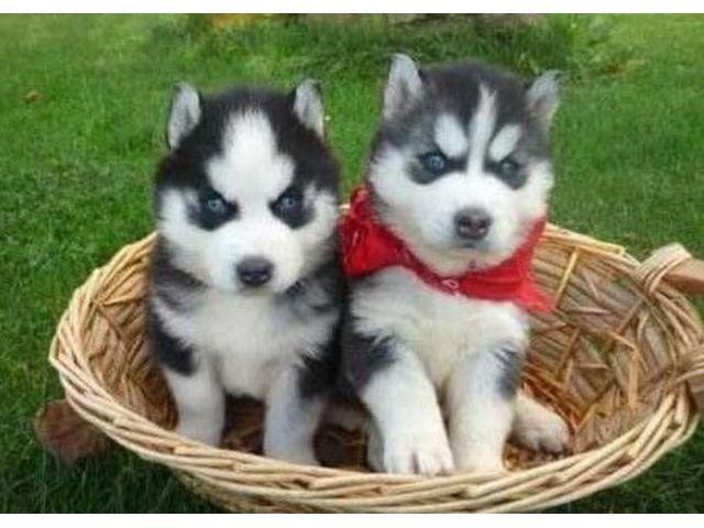 Healthy Siberian Husky Puppies Siberian Husky Dog Siberian