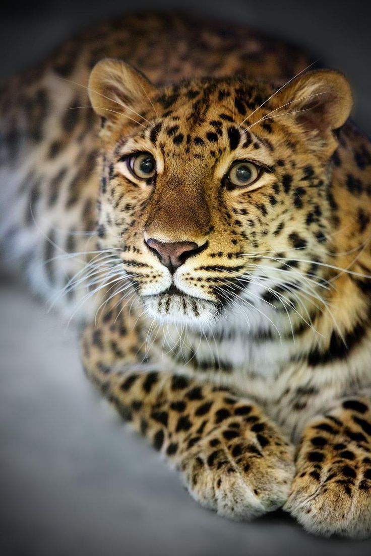 Amur leopard (Panthera pardus orientalis) is a leopard subspecies native to the Primorye region of southeastern Russia and Jilin Province of northeast China, and is classified as Critically Endangered since 1996 by IUCN. Only 14–20 adults and 5–6 cubs were counted in a census in 2007, with a total of 19-26 Amur leopards extant in the wild. The Amur leopard is also known as the Far Eastern leopard, Korean leopard and Manchurian leopard.