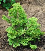 """Hinoki Cypress -explanation of scientific name. Get the """"slender"""" (gracilis) variety, rather than the """"dwarf"""" (nana) variety. Chamaecyparis means """"false cypress."""" Obtusa means blunt, referring, I assume, to the appearance and feel of the needles. Gracilis is Latin for """"slender."""" Nana is Latin for """"dwarf."""""""