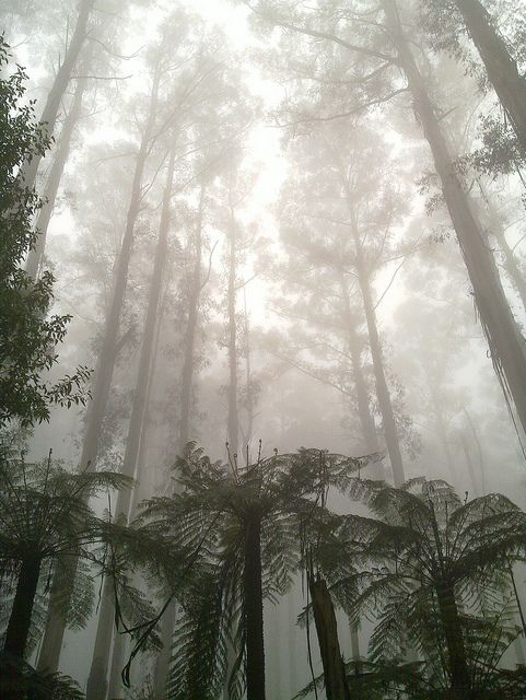 Gum trees in the mist, near Sherbrooke Falls, Victoria, Australia