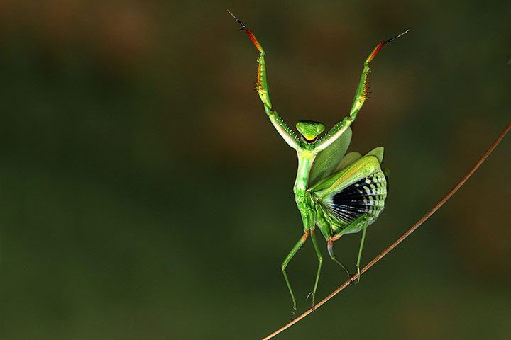 A Mediterranean mantis is captured in astonishing detail by photographer Hasan Baglar    Photograph: Caters News Agency