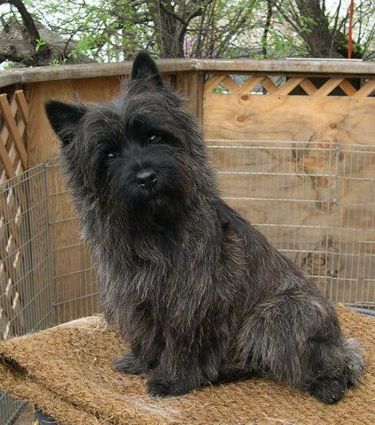 club de race cairn terrier